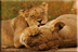 Lions at play